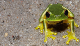 frog identification, frog ID, email, contact, frogs